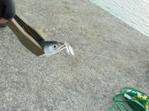 三重県波切漁港サバ入れ食い FISH&MAPS